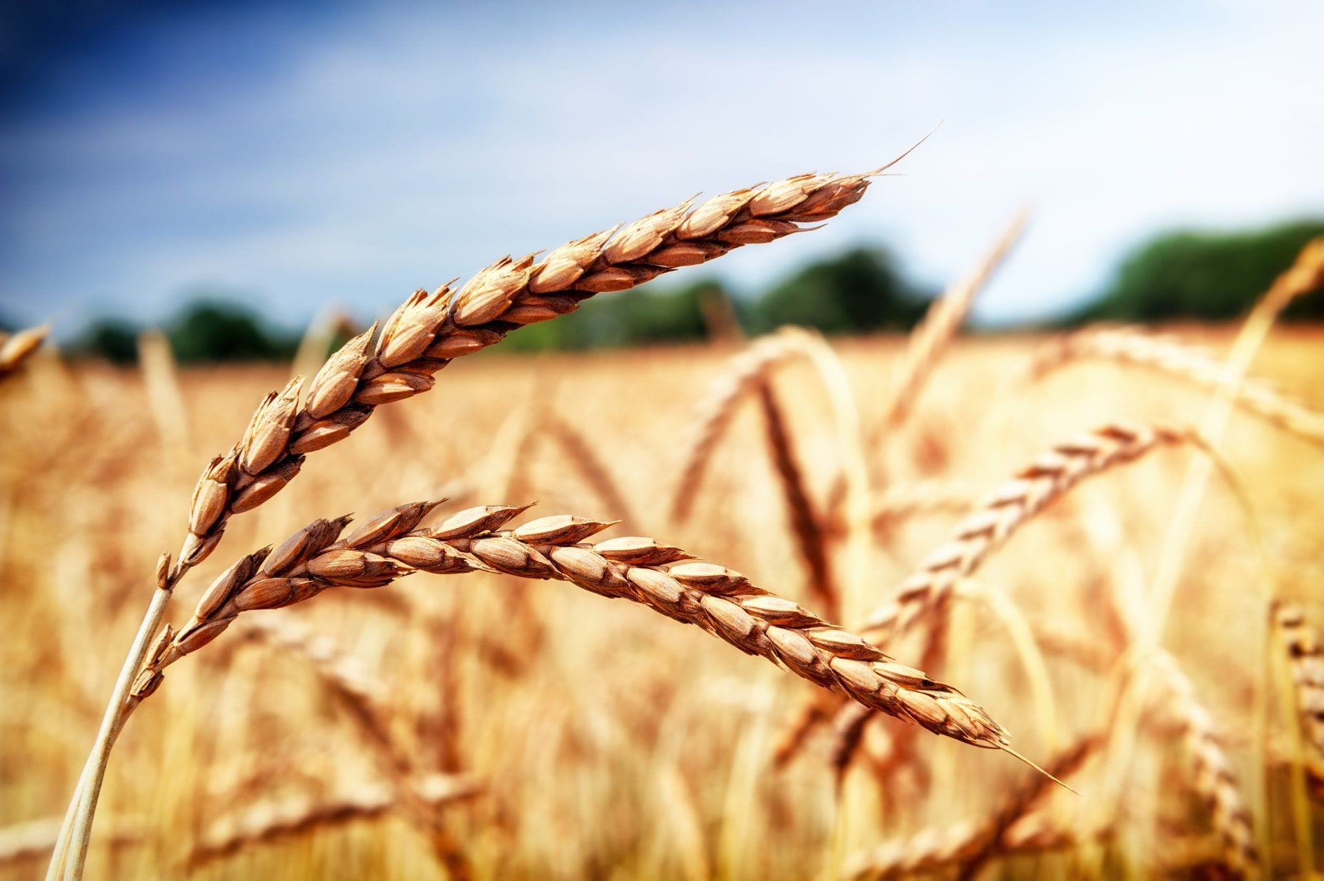 ¿Qué es el trigo espelta?
